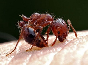 The Red Imported Fire Ant