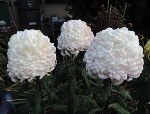 檀家さんの菊blog02
