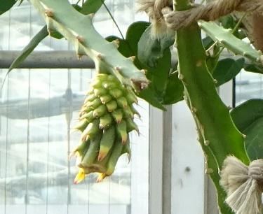 植物園のドラゴンフルーツ2