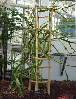 植物園のドラゴンフルーツ1