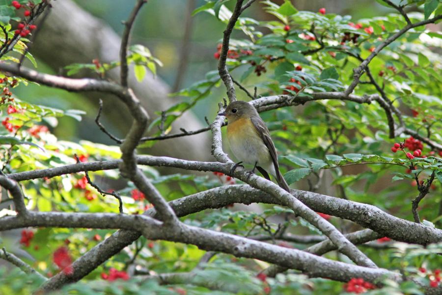 2012-10-21ムギマキIMG_1095