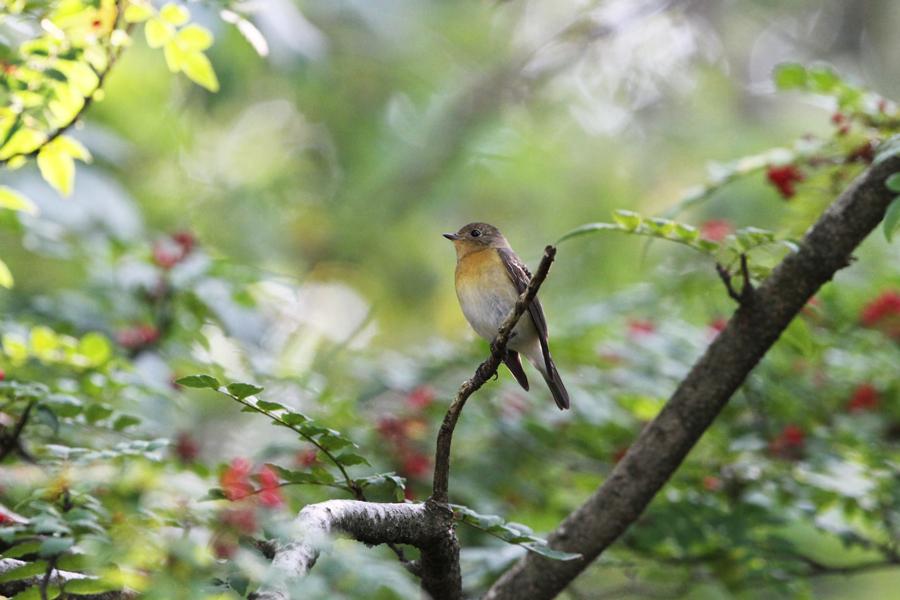 2012-10-21ムギマキIMG_4687