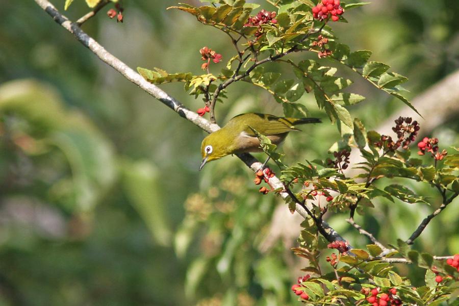 野鳥メジロIMG_1026
