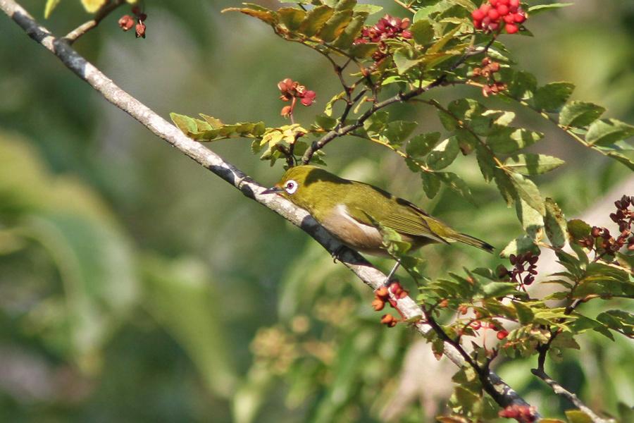 野鳥メジロIMG_1030