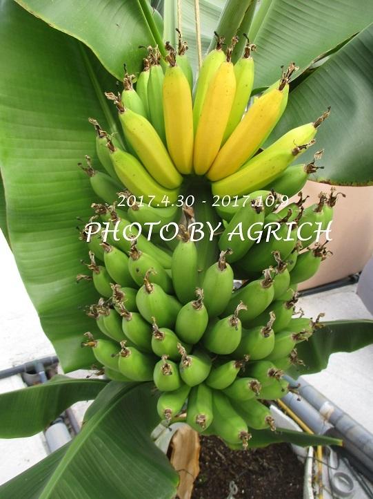 bananamizusuime2