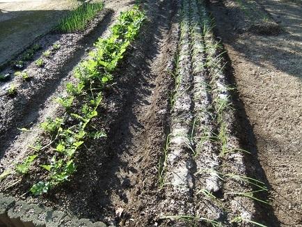 玉葱苗植え付け