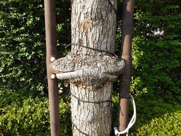支柱を咥える樹木