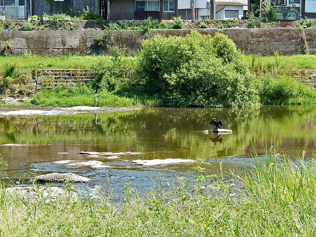 青鷺と川鵜