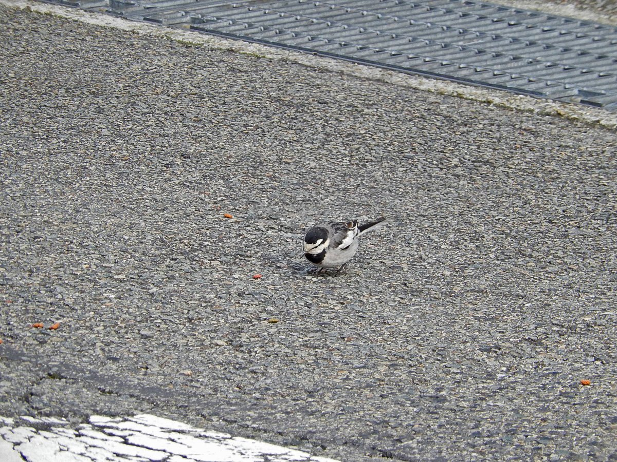 キャットフードを食べる野鳥