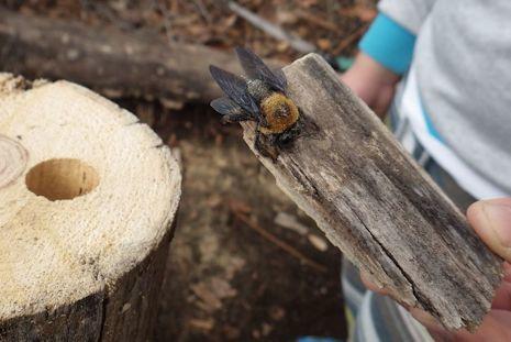 クマバチの巣1