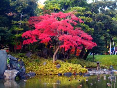 '171123 赤い紅葉 小石川後楽園