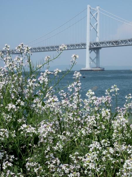 ハマダイコンと瀬戸大橋11