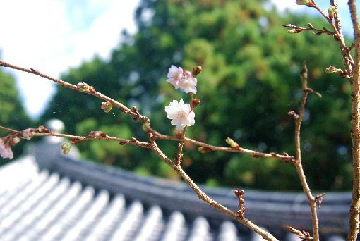 6.10月桜