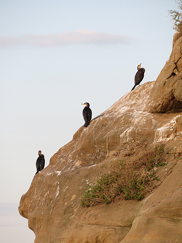 171112,猿島の海鵜3