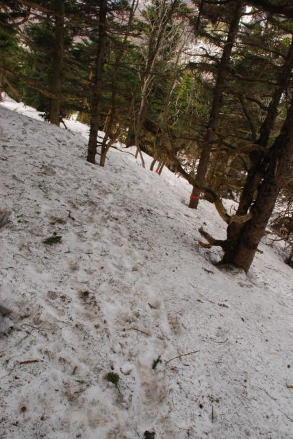 四阿山から十ガ原への下り_残雪の樹林帯で方向を見失いそう