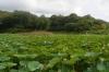 荒神谷蓮池