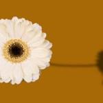 gerbera-white.jpg