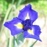 iris-kakitsubata.jpg