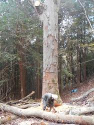 けやき大径木製材4