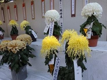 きれぎれの風彩 小江戸川越菊まつり171201-03