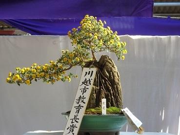 きれぎれの風彩 小江戸川越菊まつり171201-04