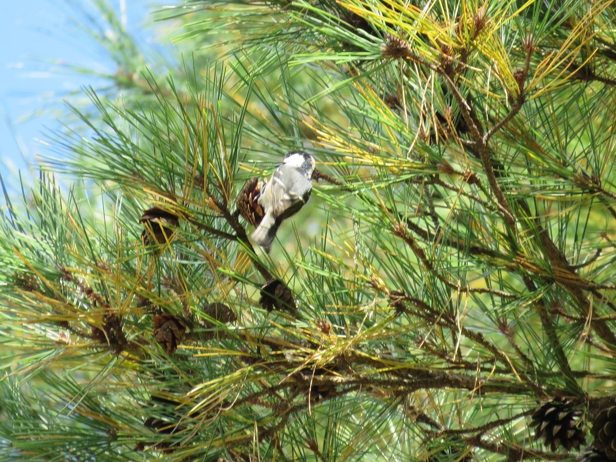 松の木のヒガラを撮影していると
