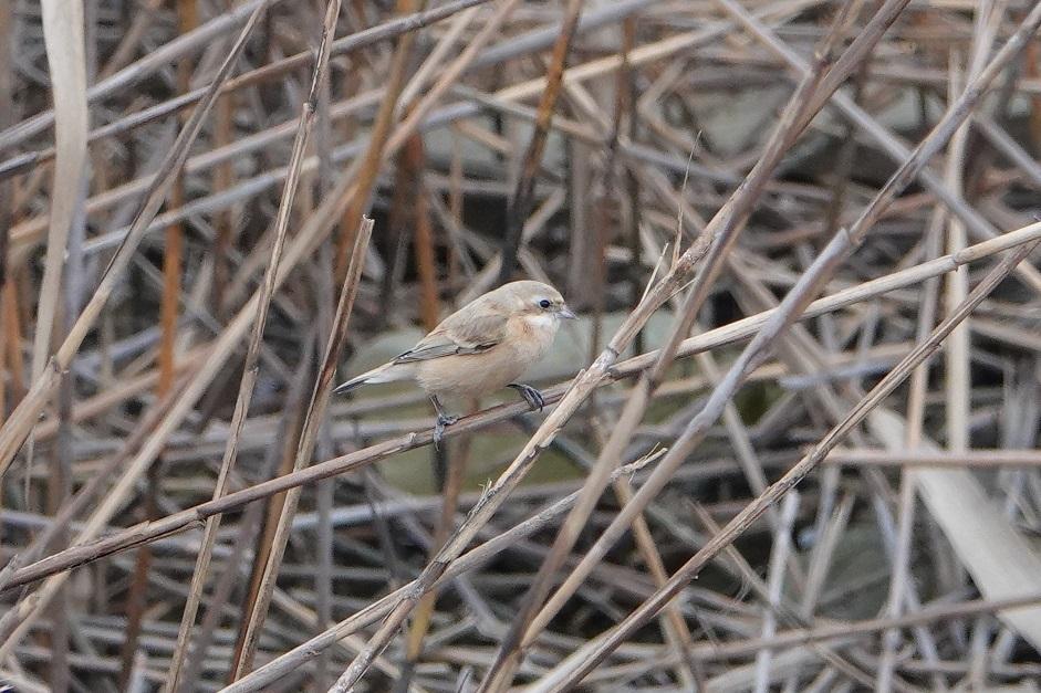ツリスガラ雌2