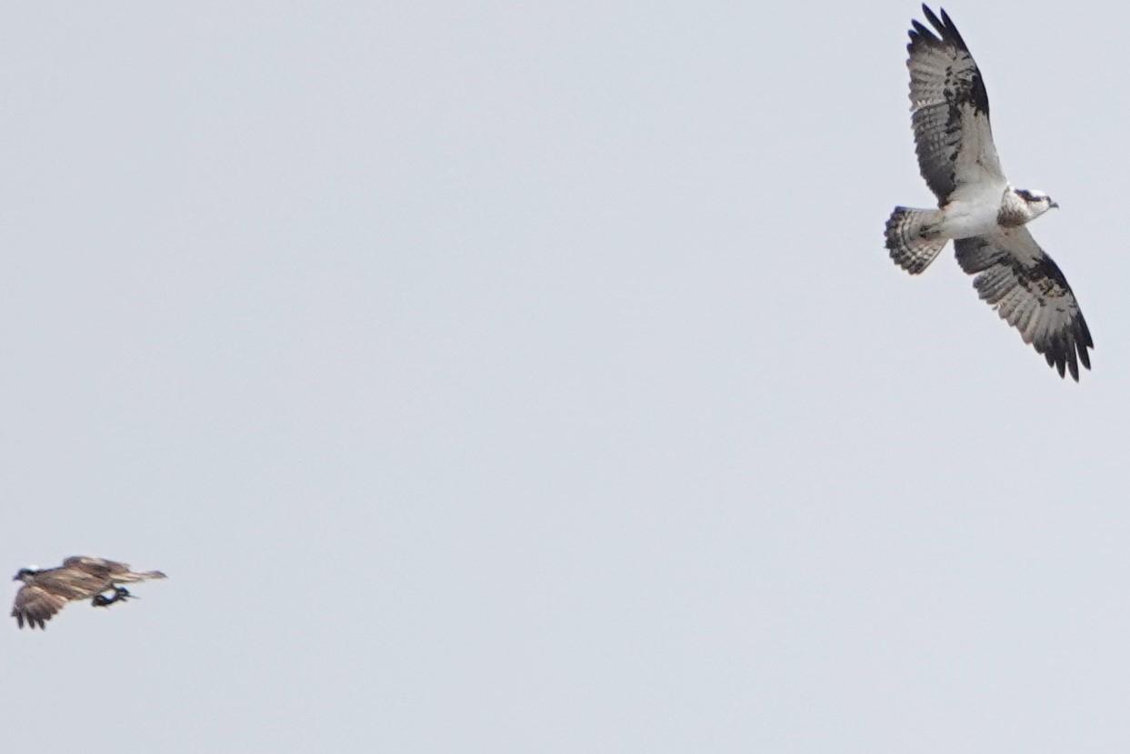 ミサゴ2羽