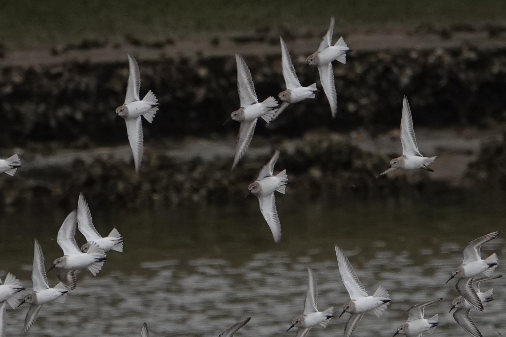 ハギマシコ飛翔5