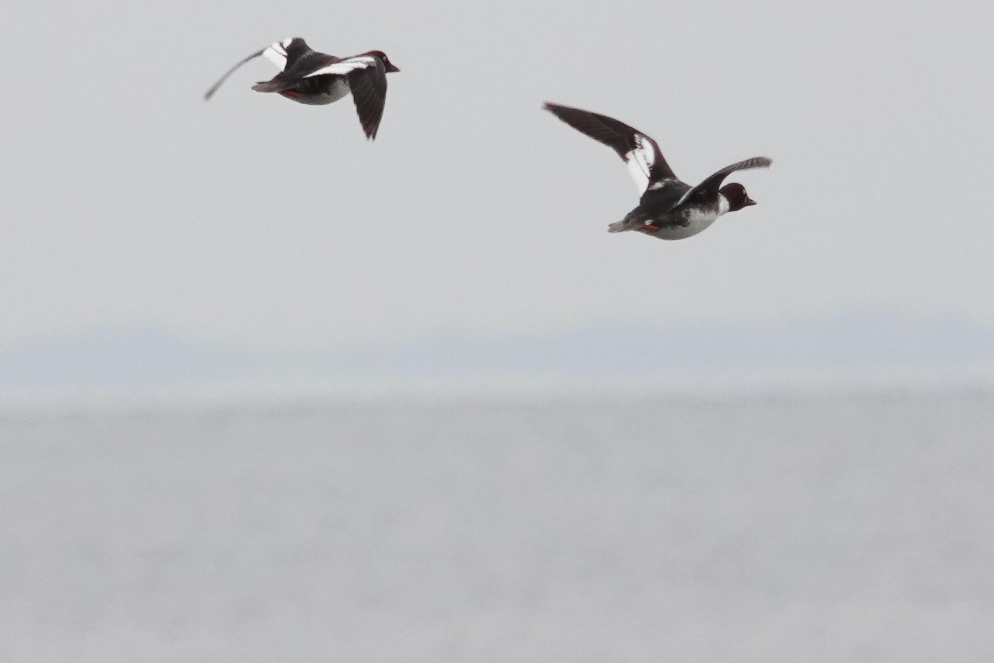 ホオジロガモ1雌飛翔