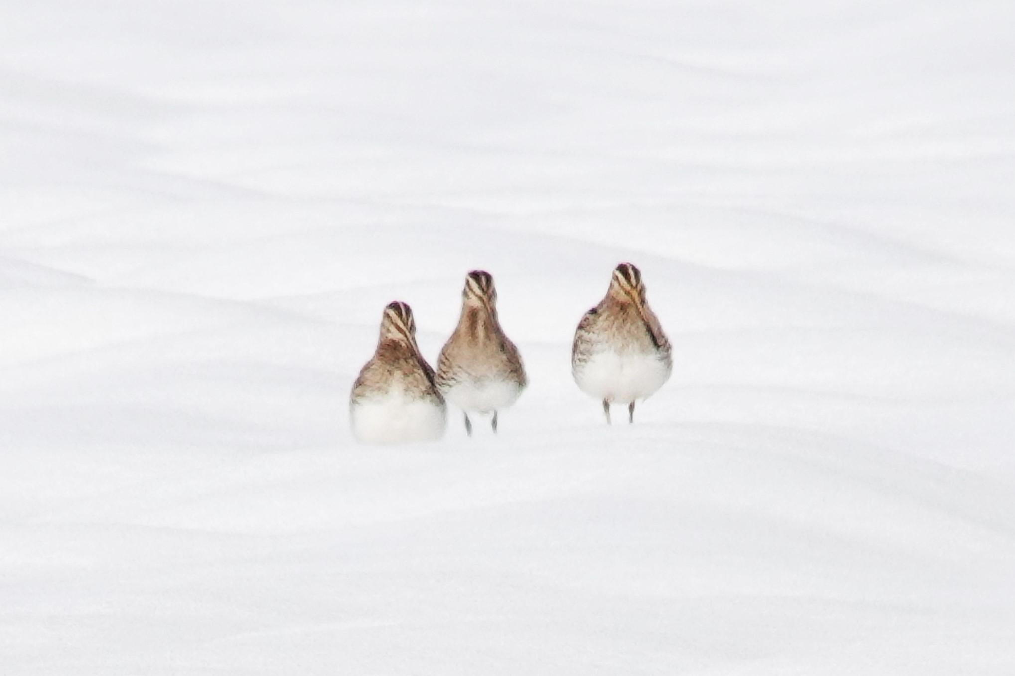3羽のタシギ