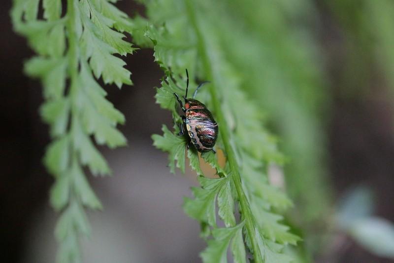 s-蛤岳17.9.29 066アカスジキンカメムシ幼虫