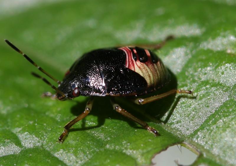 s-蛤岳17.9.29 052チャバネアオカメムシの幼虫