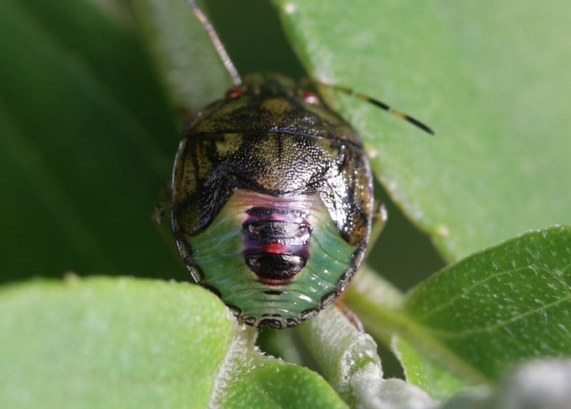 s-蛤岳17.9.29 233チャバネアオカメムシの幼虫