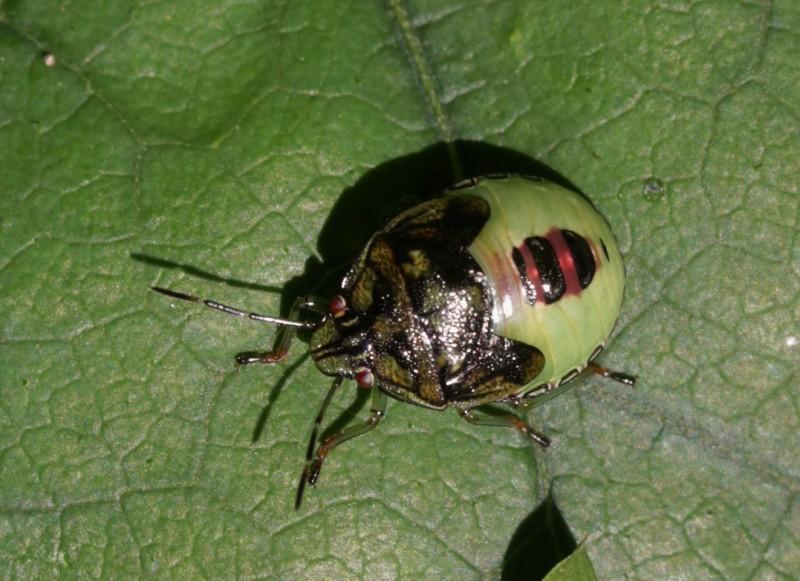 s-蛤岳17.9.29 023チャバネアオカメムシの幼虫