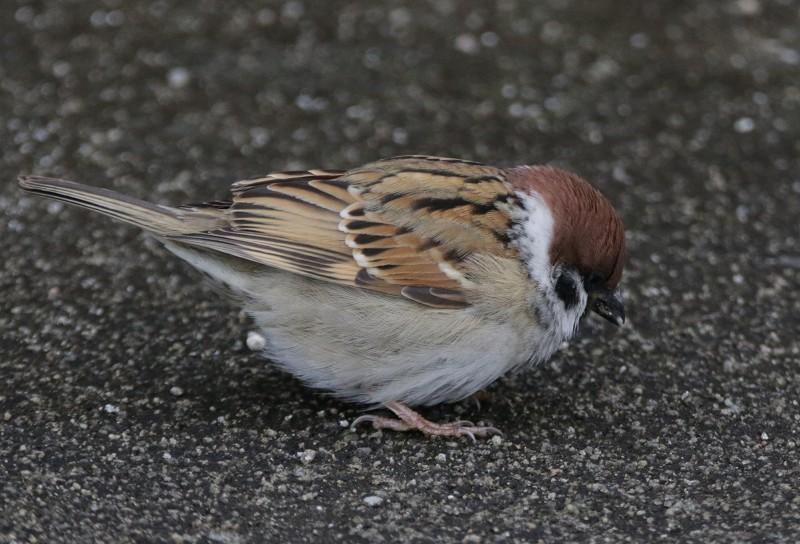 s-室見川鳥見散歩17.12.8 070