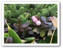 20170922 別山 白山 高山植物 (16)