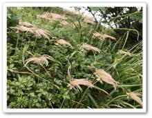 20170922 別山 白山 高山植物 (25)