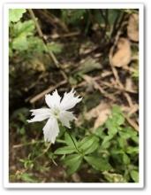 20170922 別山 白山 高山植物 (34)