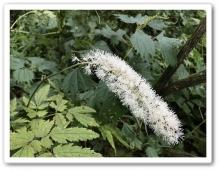 20170922 別山 白山 高山植物 (36)
