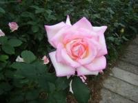 2017-06-11花巻温泉のバラ園221