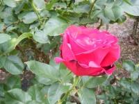 2017-06-11花巻温泉のバラ園219