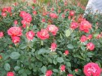 2017-06-11花巻温泉のバラ園218