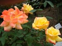 2017-06-11花巻温泉のバラ園223