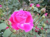 2017-06-11花巻温泉のバラ園233