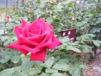 2017-06-11花巻温泉のバラ園231