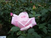 2017-06-11花巻温泉のバラ園230