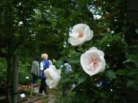 2017-06-11花巻温泉のバラ園240