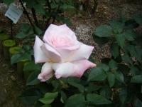 2017-06-11花巻温泉のバラ園235