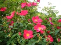 2017-06-11花巻温泉のバラ園245
